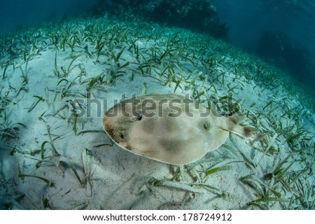 A lesser electric ray (Narcine bancroftii) swims over seagrass on a shallow sand flat off Turneffe Atoll in Belize. This species can generate voltage of 14 - 37 volts to stun prey or for defense. - stock photo