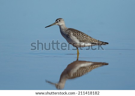 A lesser yellowlegs rests in the quiet water of a shallow pond displaying a perfect reflection.