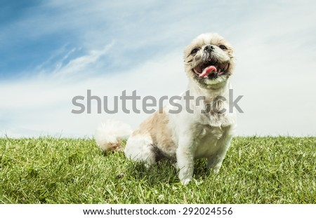 A Lhasa Apso Dog over a white background - stock photo