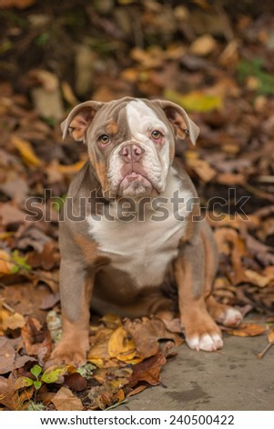 A lilac color English Bulldog sits on a bed of autumn leaves. This puppy makes a great best friend at 5 months old. - stock photo