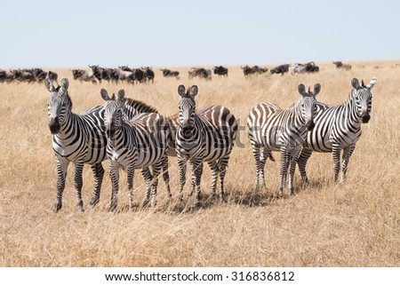 A line of five zebra stare at the camera surrounded by the long grass of the African savannah. A herd of wildebeest can be seen on the horizon in the background beneath a blue sky. - stock photo