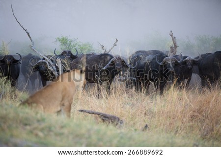 A line of wary buffalo face down a waiting lioness in the early morning mist of the Linyanti swamps - stock photo