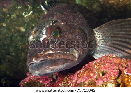 A ling cod displays it's wounds defending it's nest of eggs
