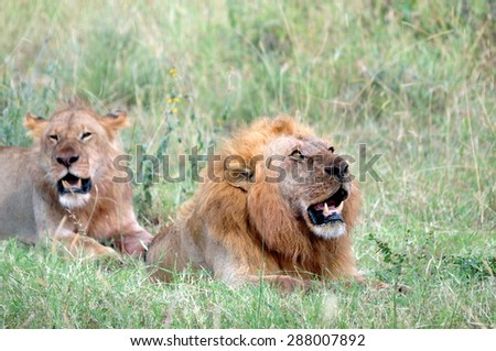 A lion Couple sitting in the grass - stock photo