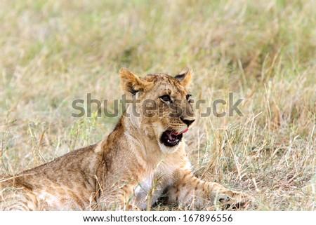A lion cub grumbling - stock photo