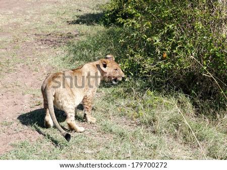 A lion cub in Masai Mara National Park - stock photo