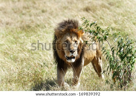 A lion emerging from the bush - stock photo