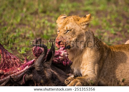 A lion feeds on a freshly killed wildebeest carcass. - stock photo