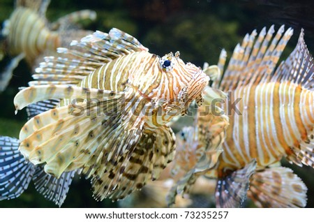 A lion fish swimming along.