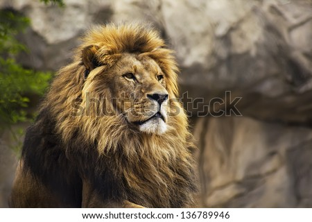 A lion is staring ahead into the sky - stock photo