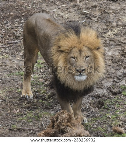 A lion is staring at you  - stock photo