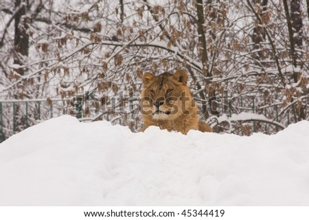 a lion on snow in winter - stock photo