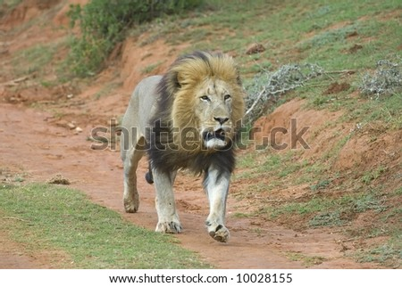 A Lion ready for battle as he searches for a rival male - stock photo
