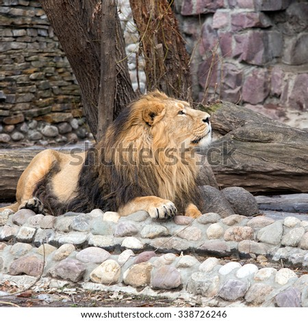 A Lion resting on a territory of Zoological Park - stock photo