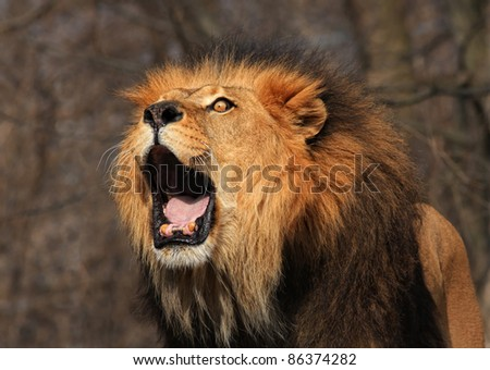 A Lion Roaring - stock photo