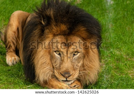 A lion staring straight ahead - stock photo