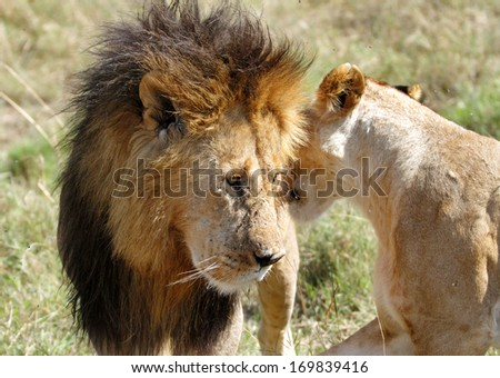 A lion with lioness - stock photo