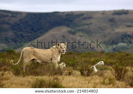 A lioness and her cubs with a scenic mountain backdrop. - stock photo