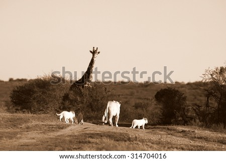 A lioness and her 3 new born white lion cubs walk past a big male giraffe while on safari in South Africa - stock photo