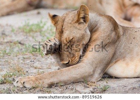 A lioness chases away some flies from her face with her paw - stock photo
