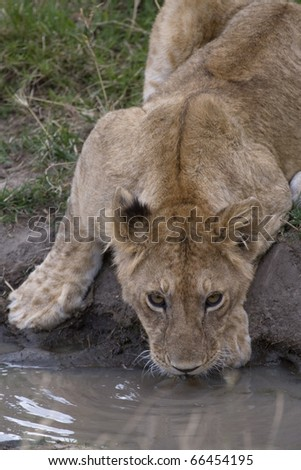 A lioness drinks water in a small watering hole in Kenya. - stock photo