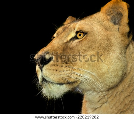 A lioness in profile on a black background  - stock photo