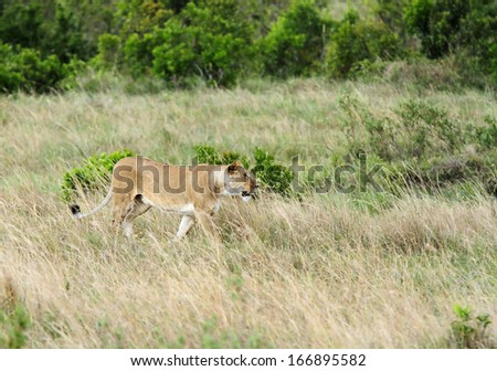 A lioness in the grassland  - stock photo