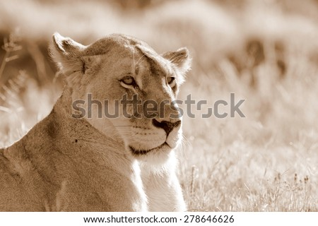 A lioness looks into the distance