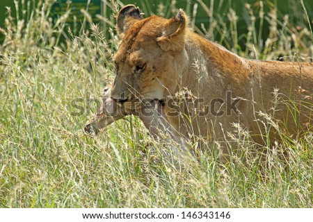 A lioness (Panthera Leo) carries a gazelle caught during the hunt - stock photo