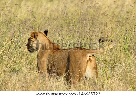 A lioness (Panthera Leo) from behind ready for the hunt - stock photo