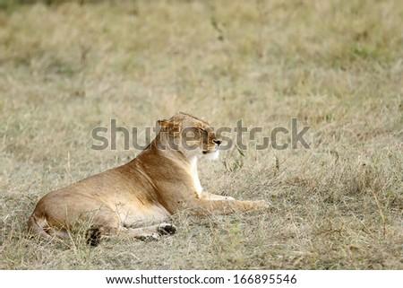 A lioness sitting on grassland - stock photo
