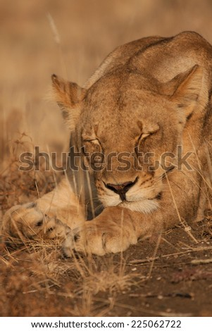 A lioness sleeping during the day in the Kruger National Park, South Africa - stock photo