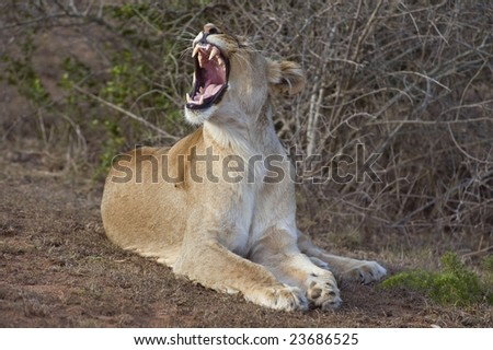 A Lioness wakes up and yawns at the start of a hunt - stock photo
