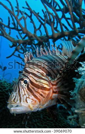 A Lionfish is any of several species of venomousmarine fish - stock photo