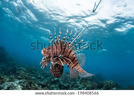 A lionfish (Pterois volitans) has been speared off Turneffe Atoll in Belize. This species has been introduced to the Caribbean Sea and has no predators. Its range has expanded rapidly. - stock photo