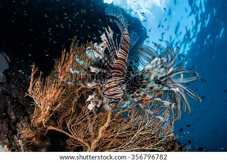 A lionfish (Pterois volitans) hovers next to a sea fan on a coral reef in Raja Ampat, Indonesia. Lionfish are venomous predators that feed on small fish and invertebrates. - stock photo