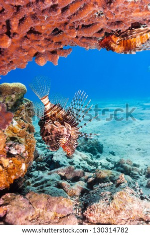 A lionfish under a table coral in shallow water on a tropical reef - stock photo