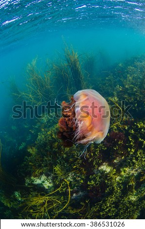 A lionsmane jellyfish floats in the shallow seas of the Hebrides during summertime - stock photo
