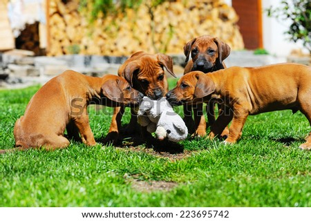 A litter of beautiful Rhodesian Ridgeback puppies are playing with a dog toy in backyard. Image taken on a sunny day in summer. - stock photo