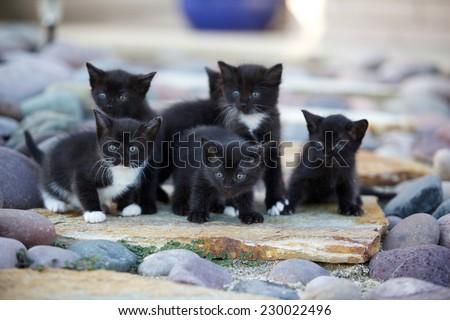 A litter of black and white kittens outside on rocks. - stock photo