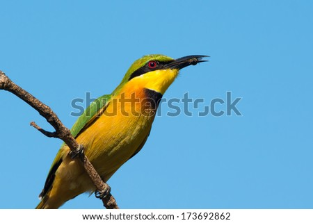 A Little-Bee Eater (Merops pusillus) which has caught a small bee
