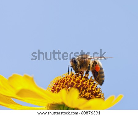 A little bee on a yellow flower - stock photo