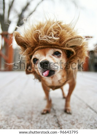 a little chihuahua dressed as a lion - stock photo
