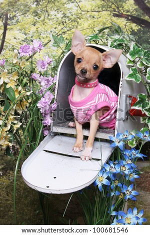 A little chihuahua puppy wearing a pink striped shirt sits in an open mailbox in a flower garden - stock photo