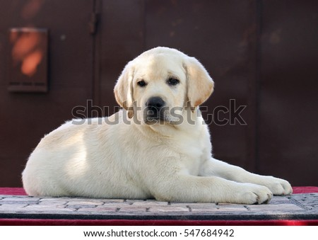 a little cute yellow labrador puppy laying on a red background