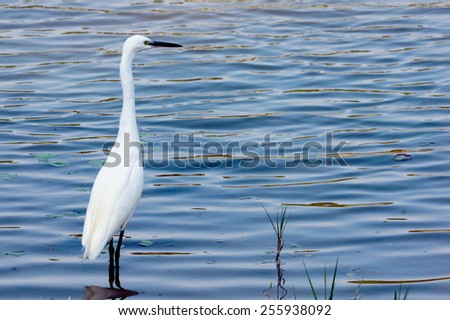 A Little Egret Standing in The Shallow Water of A Lake. The Wavy Water Reflect The Blue Color From The Sky, With Water Plant Floating on The Surface. - stock photo