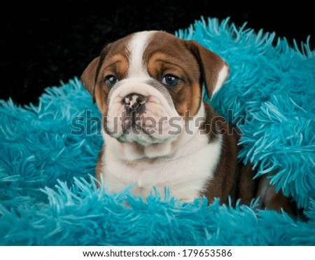A little English Bulldog puppy in a soft blue blanket on a black background. - stock photo