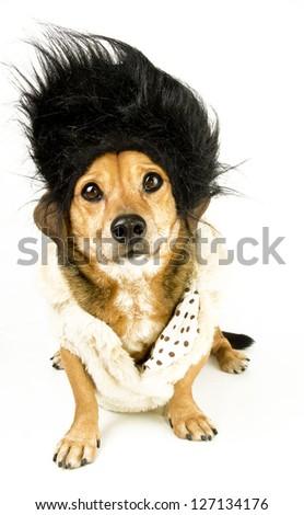 a little hairdresser dachshound - stock photo