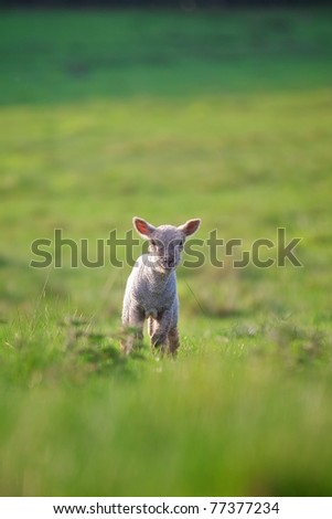 A little lamb in the spring - stock photo