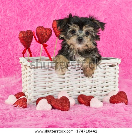 A little Morkie puppy in a basket on a pink background with hears all around her.